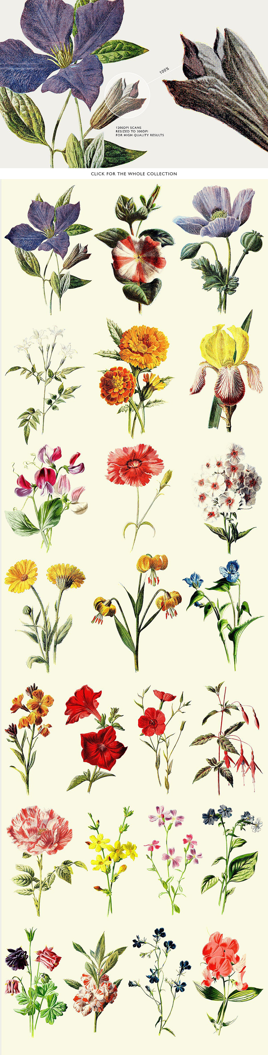 24 Colored Botanical Graphics
