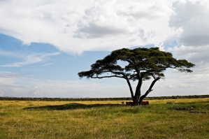 Acacia Tree In Serengeti Plains Tanzania