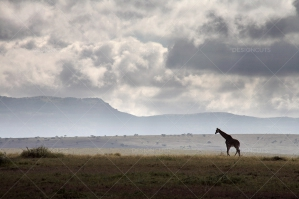 Lone Giraffe On Serengeti Plains