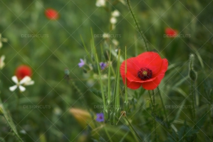 Closeup Of Red Poppies In Field No. 1
