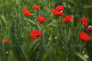 Closeup Of Red Poppies In Field No. 2