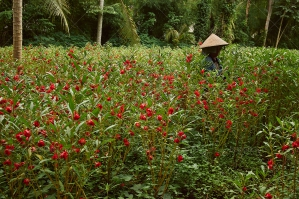 Woman In Bali Walking Through Red Flowers
