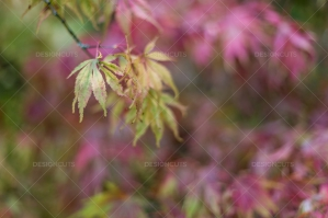 Close Up Of Tree Leaves Turning Color In Autumn