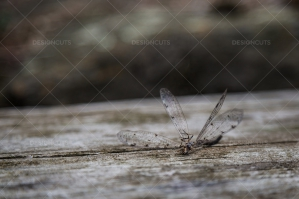 Closeup Of A Dead Dragonfly On A Piece Of Wood No. 1