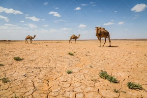 Cracked Earth Of The Sahara Desert With Camels No. 4
