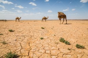 Cracked Earth Of The Sahara Desert With Camels No. 5