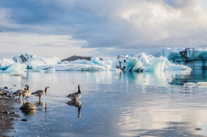 Geese At The Mouth Of Jökulsárlón Glacier Lagoon