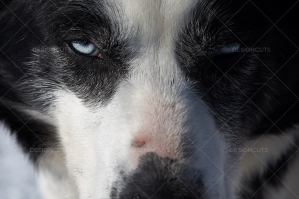 Blue Eyed Husky Closeup