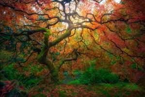 Japanese Maple Tree Glowing With Autumn Color