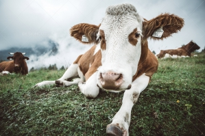 Lying Cow On Mountain Pasture