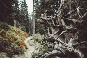 Old Root On Pathway In Forest in Jeseniky Mountains