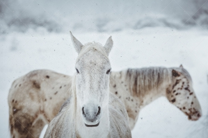 Portrait Of White Horse During A Snowy Winter Morning