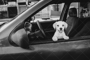 White Puppy Looking Through Car Window